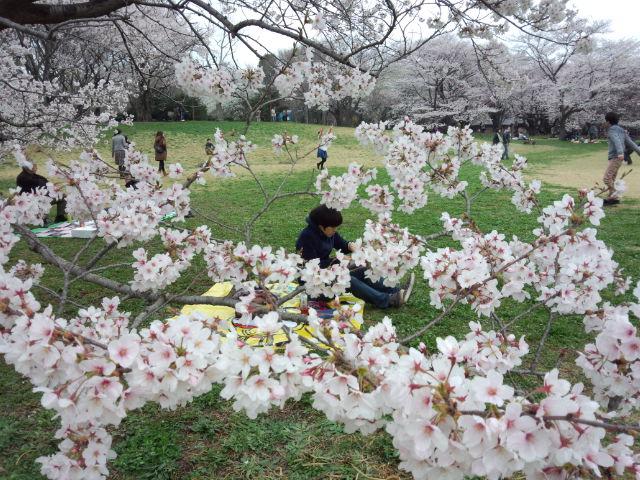 昭和記念公園でお花見。